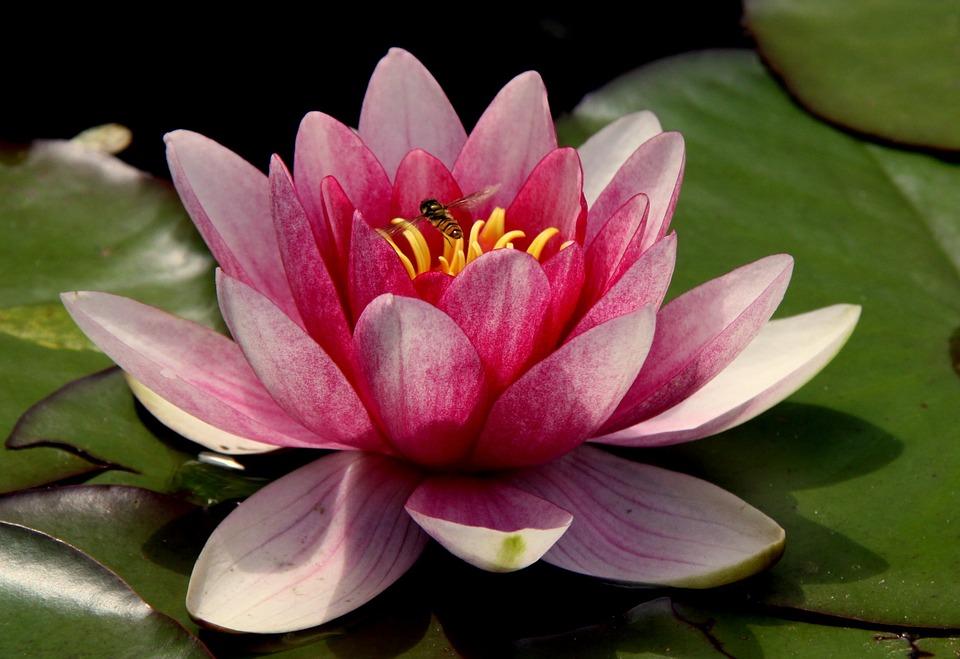 The Lotus Flower Helix Healing Path Llc